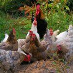 ¿Cómo alimentar a una gallina?