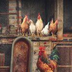 Proteger el gallinero de las aves