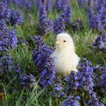 Poule Leghorn
