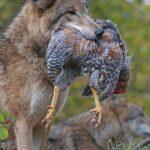 Proteger un gallinero de los depredadores