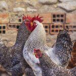 Elija un gallinero para 4, 5 o 6 gallinas
