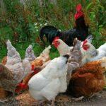 Esperanza de vida de una gallina
